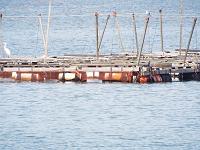 トラフグ養殖筏
