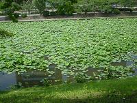 池に繁殖したホテイ草