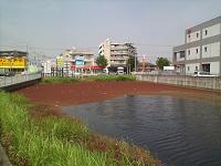 池に繁殖したアカウキクサ